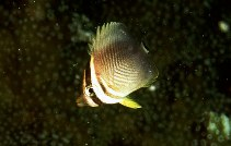 Image of Chaetodon baronessa (Eastern triangular butterflyfish)