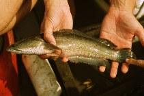 Channa striata, Striped snakehead : fisheries, aquaculture