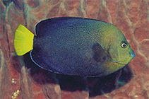 Image of Chaetodontoplus caeruleopunctatus (Bluespotted angelfish)