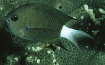 Image of Chromis caudalis (Blue-axil chromis)