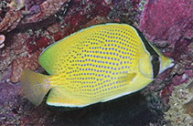Image of Chaetodon citrinellus (Speckled butterflyfish)