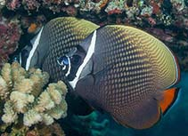 Image of Chaetodon collare (Redtail butterflyfish)
