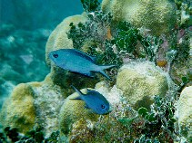 Image of Chromis cyanea (Blue chromis)