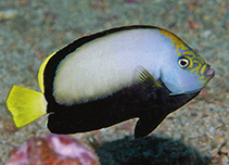 Image of Chaetodontoplus dimidiatus (Velvet angelfish)
