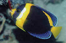 Image of Chaetodontoplus duboulayi (Scribbled angelfish)