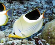 Image of Chaetodon ephippium (Saddle butterflyfish)