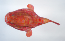 Image of Chaunax fimbriatus (Tassled coffinfish)