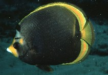 Image of Chaetodon flavirostris (Black butterflyfish)
