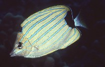 Image of Chaetodon fremblii (Bluestriped butterflyfish)