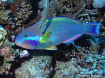 Chlorurus genazonatus, Sinai parrotfish : fisheries