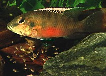 Image of Chromidotilapia guntheri (Guenther