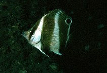 Image of Roa jayakari (Indian golden-barred butterflyfish)
