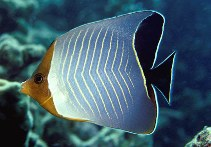 Image of Chaetodon larvatus (Hooded butterflyfish)
