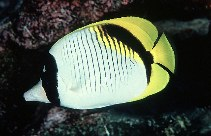 Image of Chaetodon lineolatus (Lined butterflyfish)