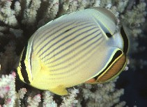 Image of Chaetodon lunulatus (Oval butterflyfish)