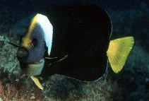 Image of Chaetodontoplus meredithi (Queensland yellowtail angelfish)