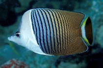Image of Chaetodon mesoleucos (White-face butterflyfish)