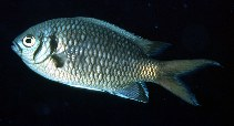 Image of Chromis opercularis (Doublebar chromis)