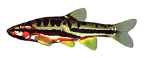 Image of Chrosomus oreas (Mountain redbelly dace)
