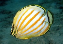 Image of Chaetodon ornatissimus (Ornate butterflyfish)