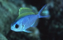 Image of Chromis ovalis (Hawaiian chromis)