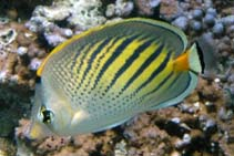 Image of Chaetodon pelewensis (Sunset butterflyfish)
