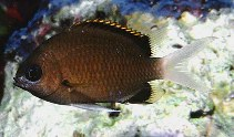 Image of Chromis pembae (Pemba chromis)