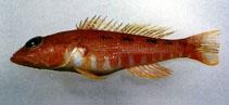 Image of Chelidoperca pleurospilus