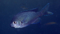 Image of Chromis punctipinnis (Blacksmith)