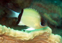 Image of Chromis retrofasciata (Black-bar chromis)