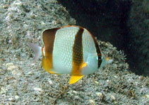 Image of Chaetodon robustus (Three-banded butterflyfish)