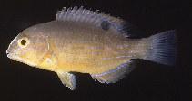 Image of Choerodon schoenleinii (Blackspot tuskfish)