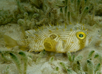 Image of Chilomycterus schoepfii (Striped burrfish)