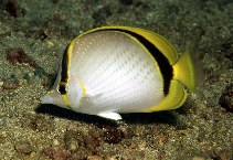 Image of Chaetodon selene (Yellow-dotted butterflyfish)