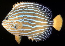 Image of Chaetodontoplus septentrionalis (Bluestriped angelfish)