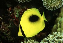 Image of Chaetodon speculum (Mirror butterflyfish)