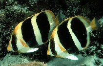 Image of Chaetodon tricinctus (Three-striped butterflyfish)
