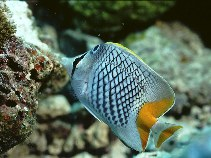 Image of Chaetodon xanthurus (Pearlscale butterflyfish)