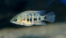Image of Cincelichthys bocourti (Chisel-tooth cichlid)