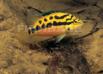 Image of Trichromis salvini (Yellow belly cichlid)