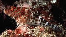 Image of Notocirrhitus splendens (Splendid hawkfish)
