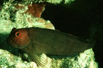 Image of Cirripectes vanderbilti (Scarface blenny)
