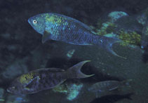 Image of Clepticus africanus (African Creole wrasse)