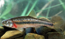 Image of Clinostomus funduloides (Rosyside dace)