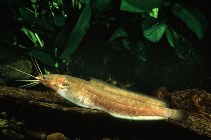 Image of Clarias liocephalus (Smoothhead catfish)