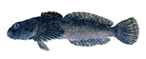 Image of Cottus baileyi (Black sculpin)