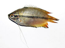 Image of Trichogaster chuna (Honey gourami)