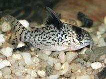 Corydoras leucomelas, False spotted catfish : aquarium