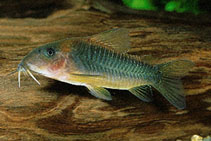 Image of Corydoras melanotaenia (Green gold catfish)