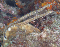 Image of Corythoichthys ocellatus (Ocellated pipefish)